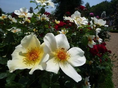 バカテル公園のバラ6