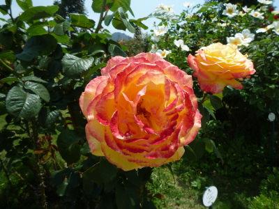 バカテル公園のバラ2