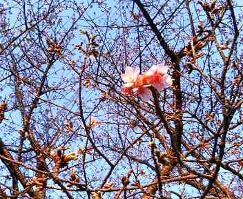 城ケ崎の桜
