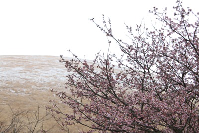 雪と河津桜