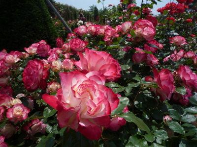 バカテル公園のバラ4