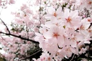 角館桜開花予想と桜まつり。見頃の時期。