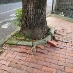 見慣れた街路樹。新たな気付き。 #1782