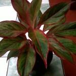 Aglaonema Lipstik - Yanflora.com 008