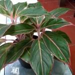 Aglaonema - Yanflora.com 006