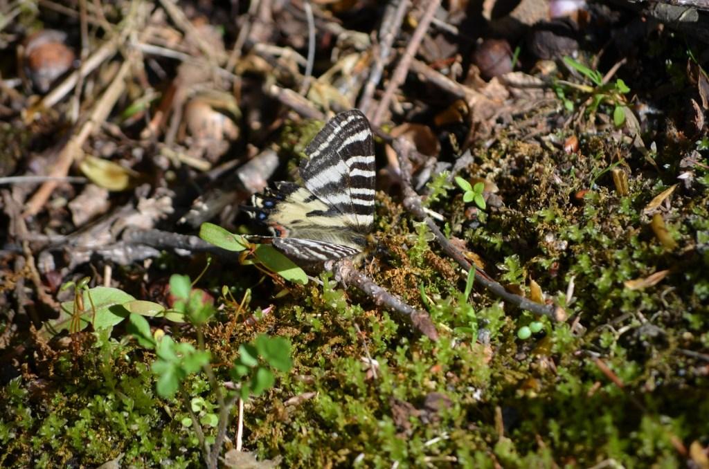蓼科高原に春到来。ヒメギフチョウを発見!