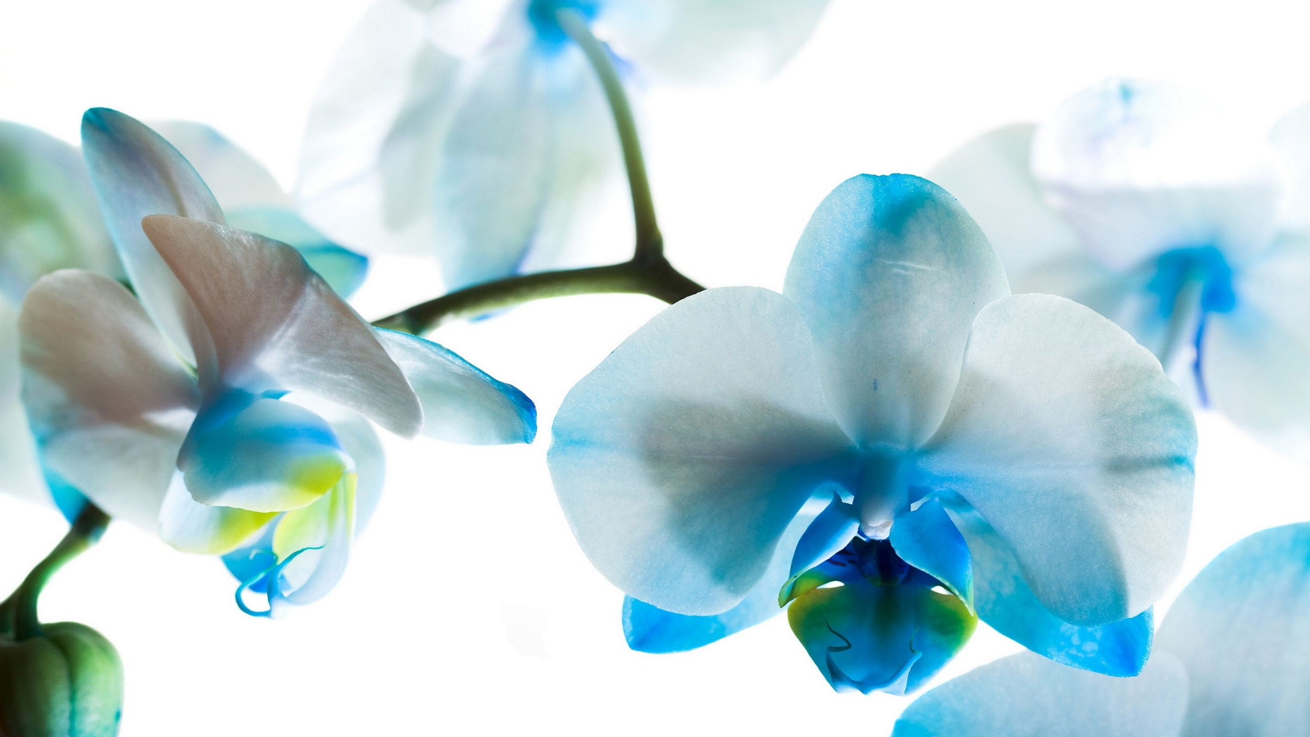 Hd Wallpapers Butterflies Widescreen Blue Orchid Wallpapers High Quality Download Free