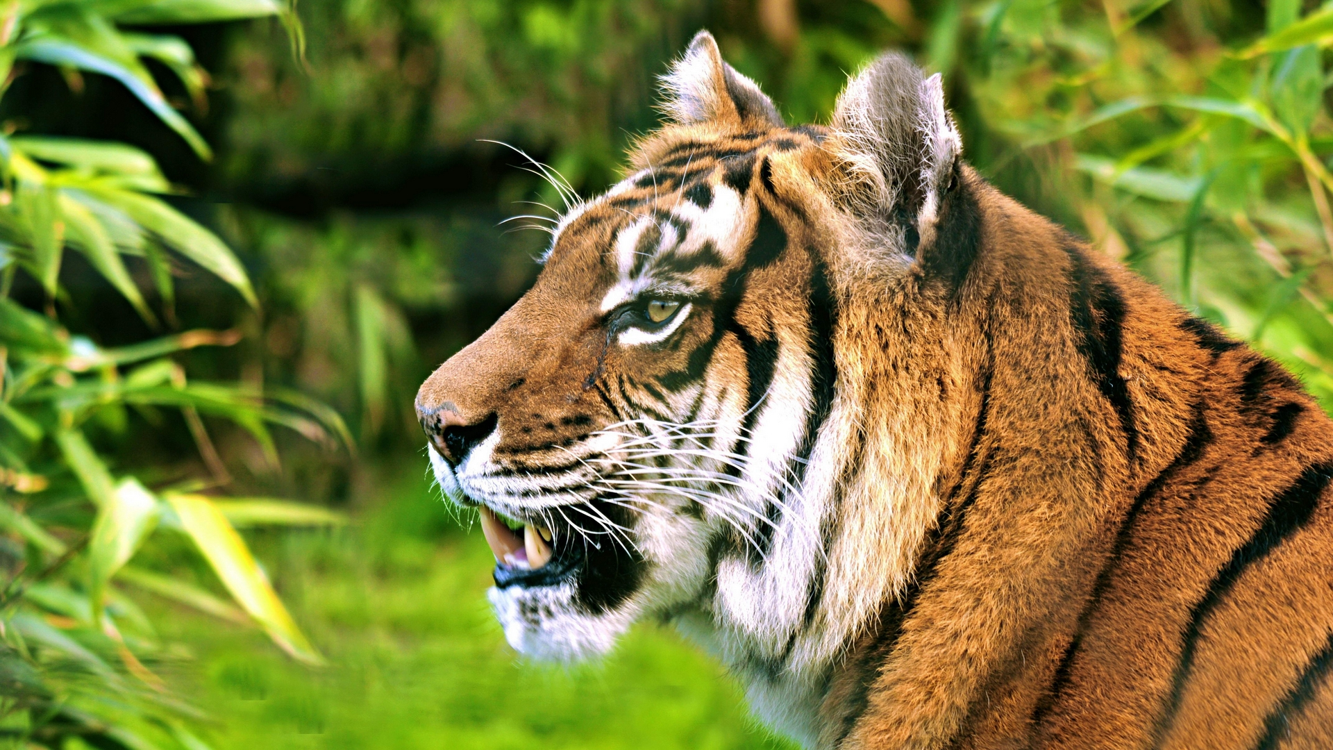 Angry Lion Wallpaper Hd 1080p Tiger Wallpapers High Quality Download Free