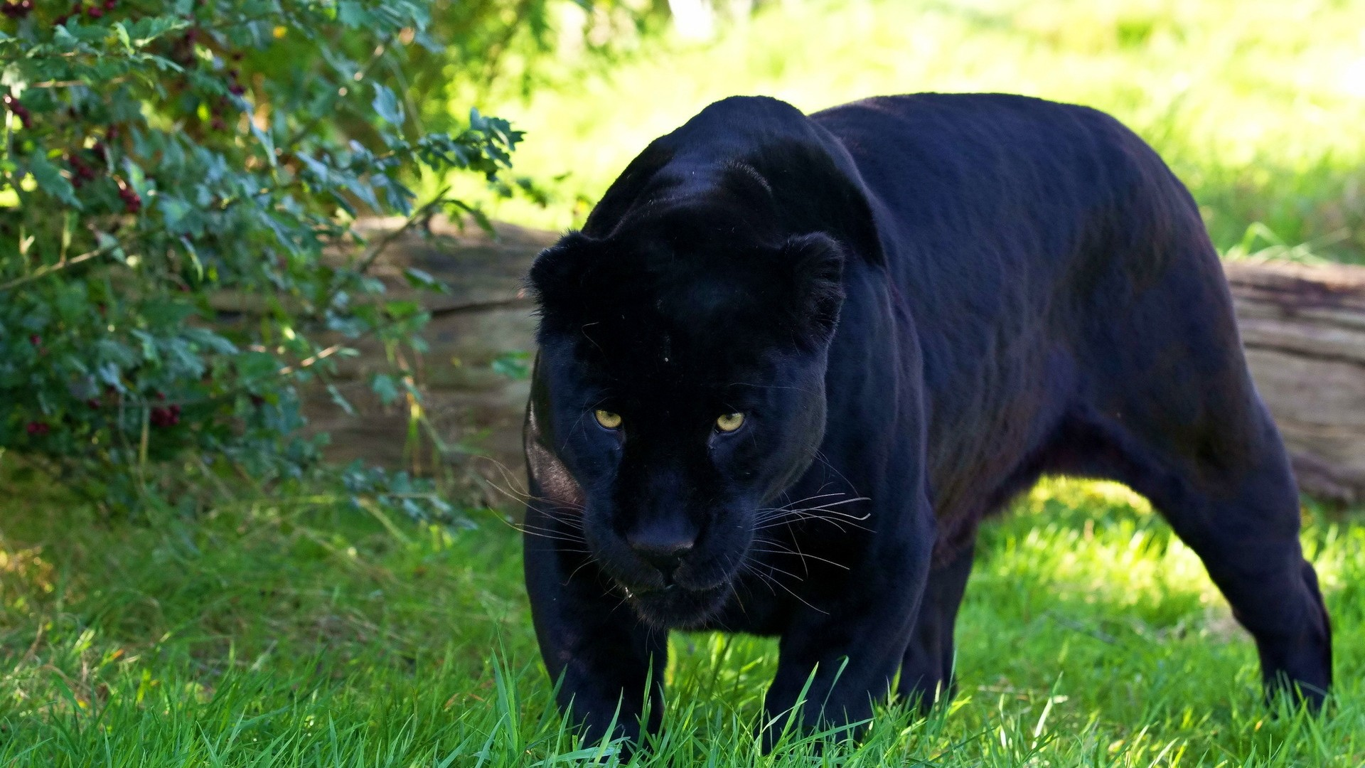 Black Cat Eyes Wallpaper Black Panther Wallpapers High Quality Download Free