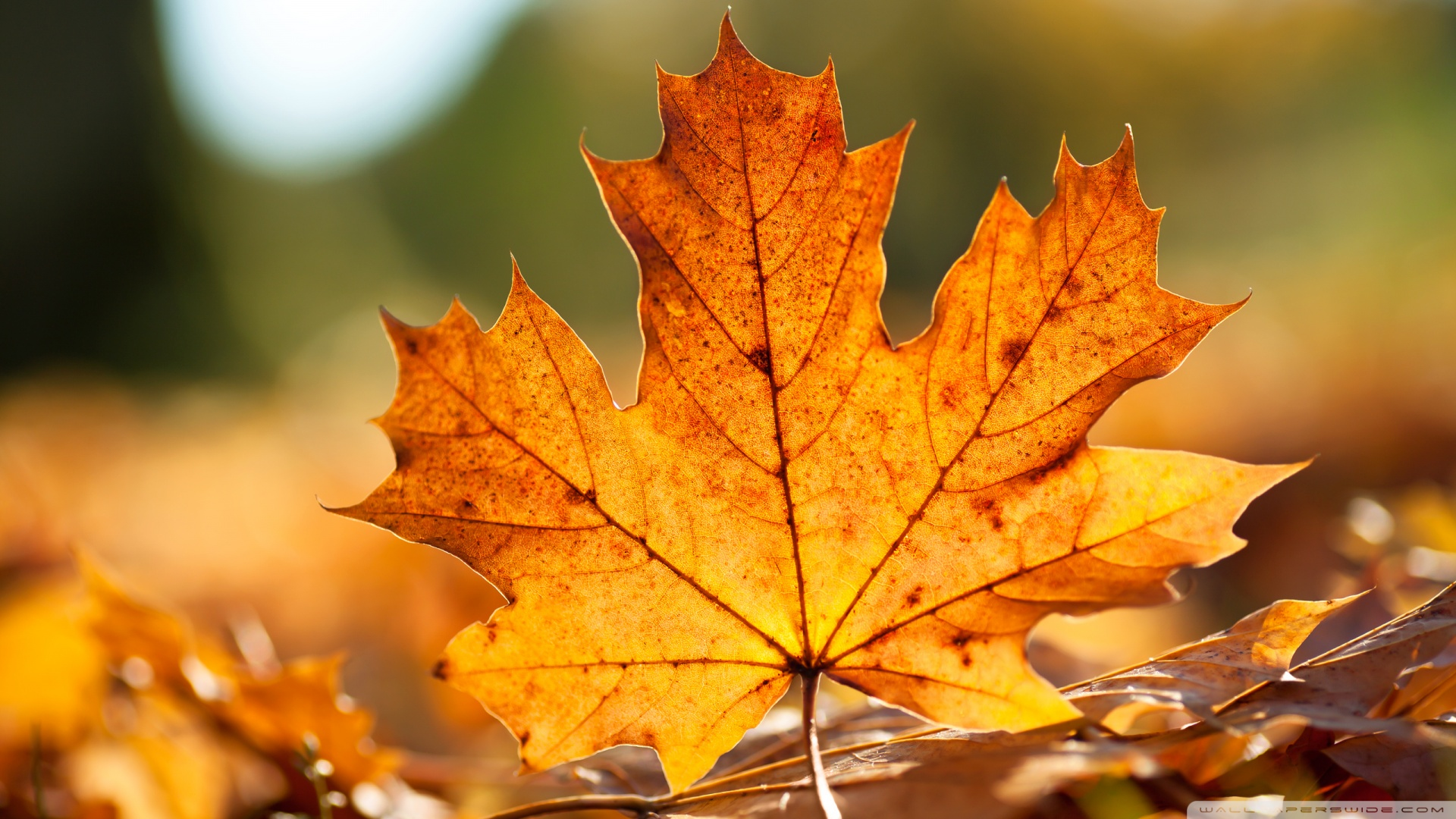 Fall Foliage Wallpaper Widescreen Autumn Leaves Wallpapers High Quality Download Free