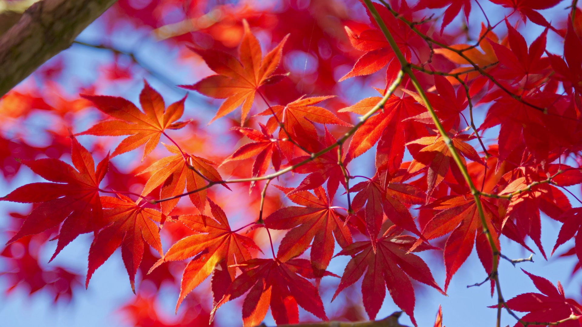 Fall Leaves Hd Wallpaper Red Leaves Tree Wallpapers High Quality Download Free