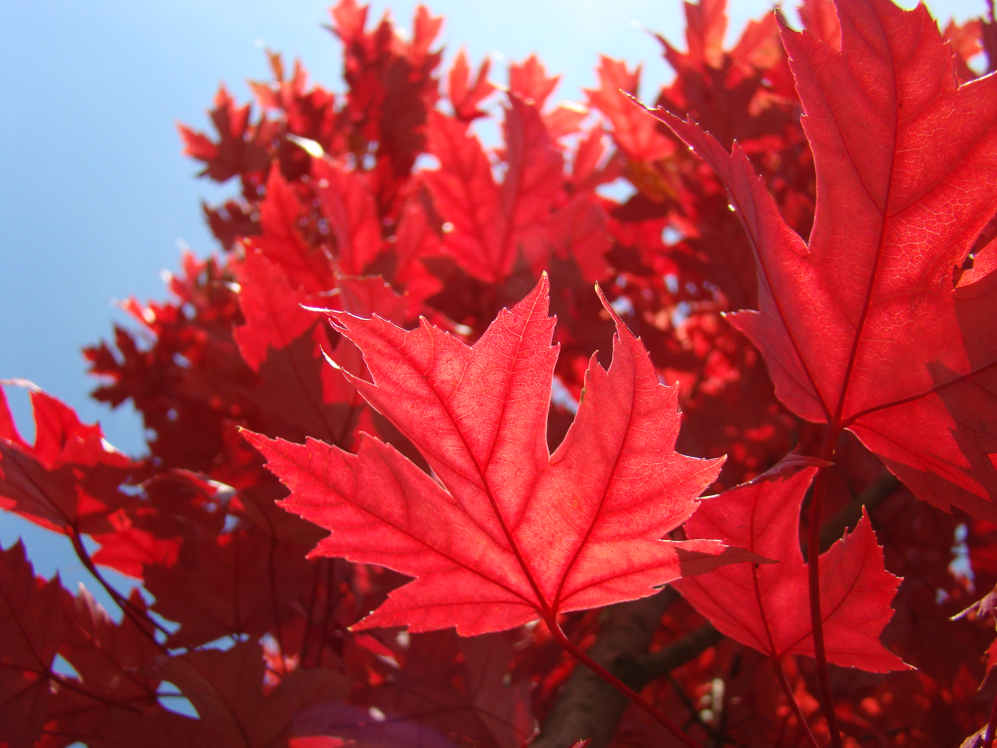 Fall Leaves Desktop Wallpaper Backgrounds Red Leaves Tree Wallpapers High Quality Download Free