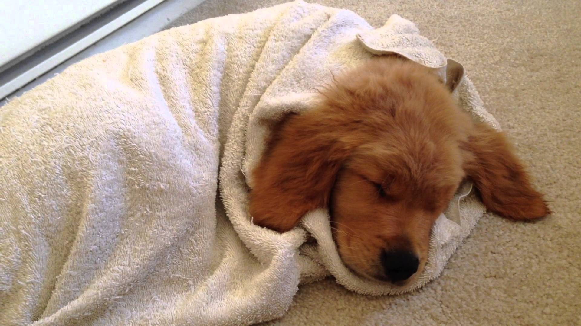 Cute Puppies Full Hd Wallpapers Golden Retriever Wallpapers High Quality Download Free