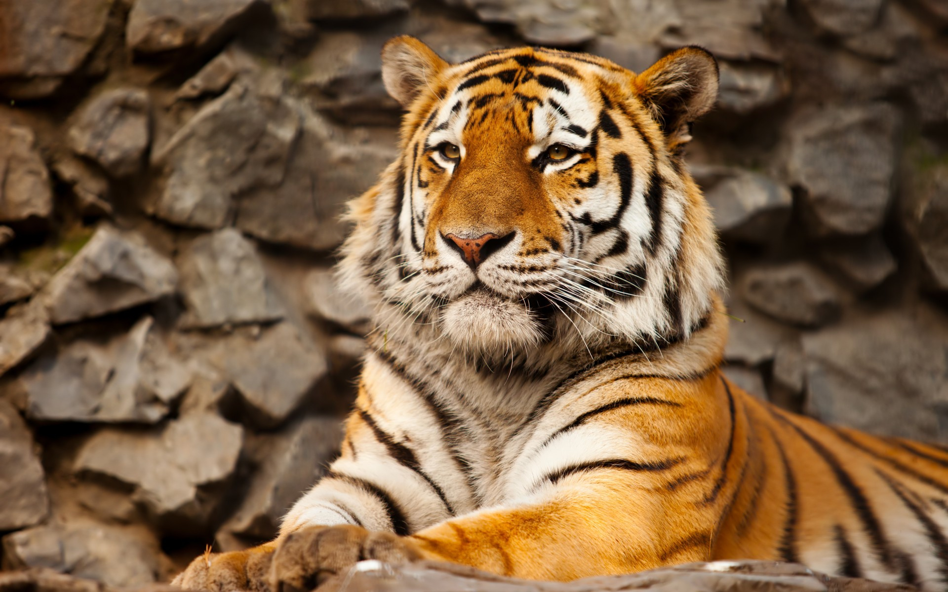 Cute Animal Wallpapers High Resolution 4k Tigris Wallpapers High Quality Download Free