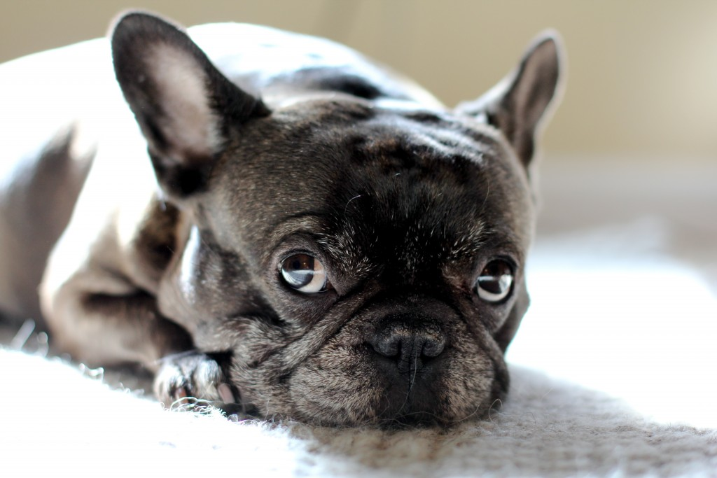 Cute Pet Animals Wallpapers French Bulldog Wallpapers High Quality Download Free