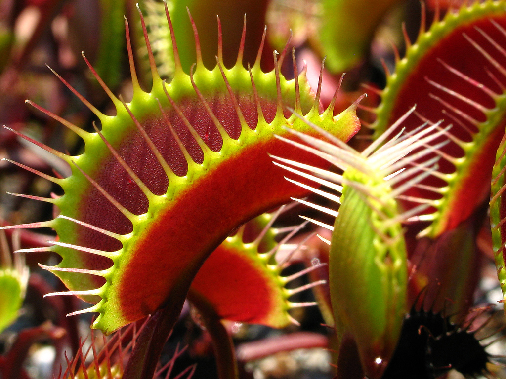 Carnivore Pflanzen Dionaea Muscipula Wallpapers High Quality Download Free
