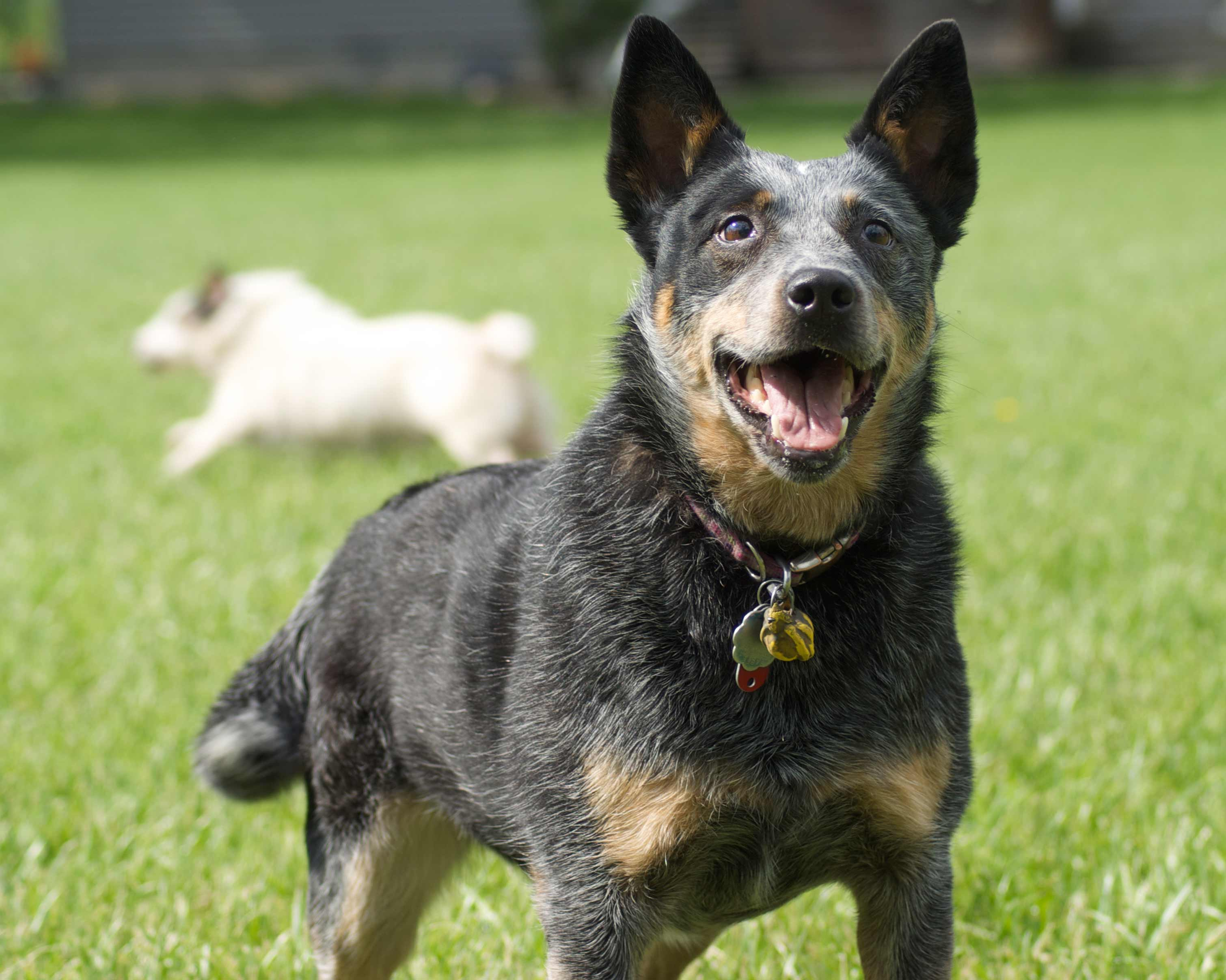 Australian Cattle Dog Australian Cattle Dog Wallpapers High Quality Download Free