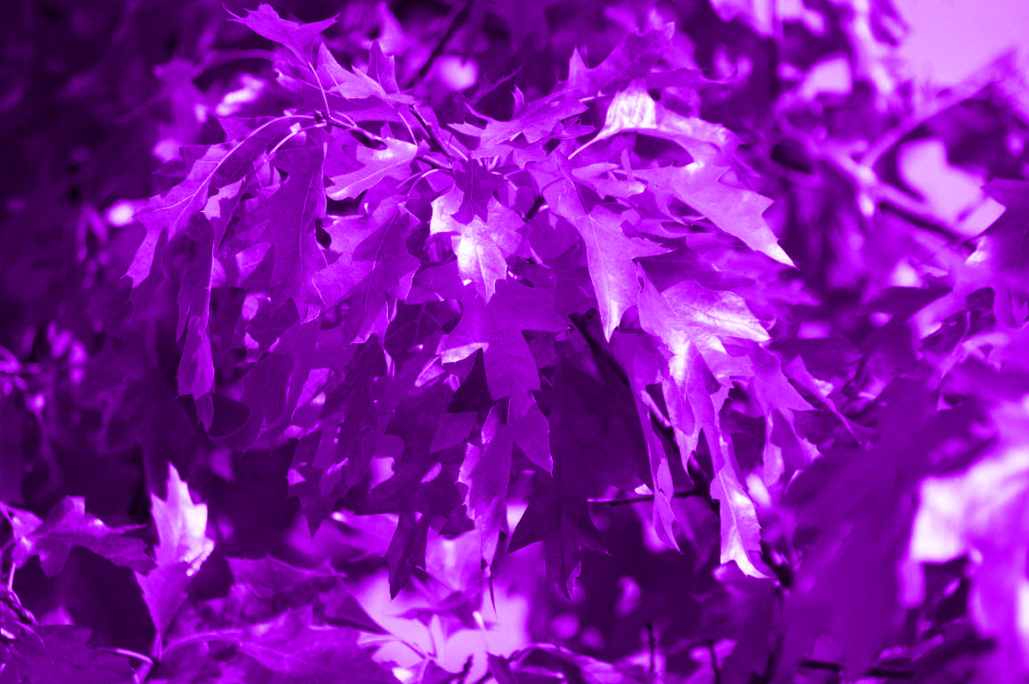 High Resolution Fall Wallpaper Purple Leaves Wallpapers High Quality Download Free