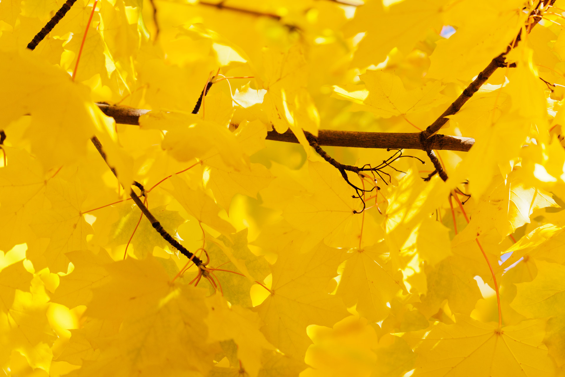 Fall Leaves Iphone 7 Wallpaper Yellow Leaves Wallpapers High Quality Download Free