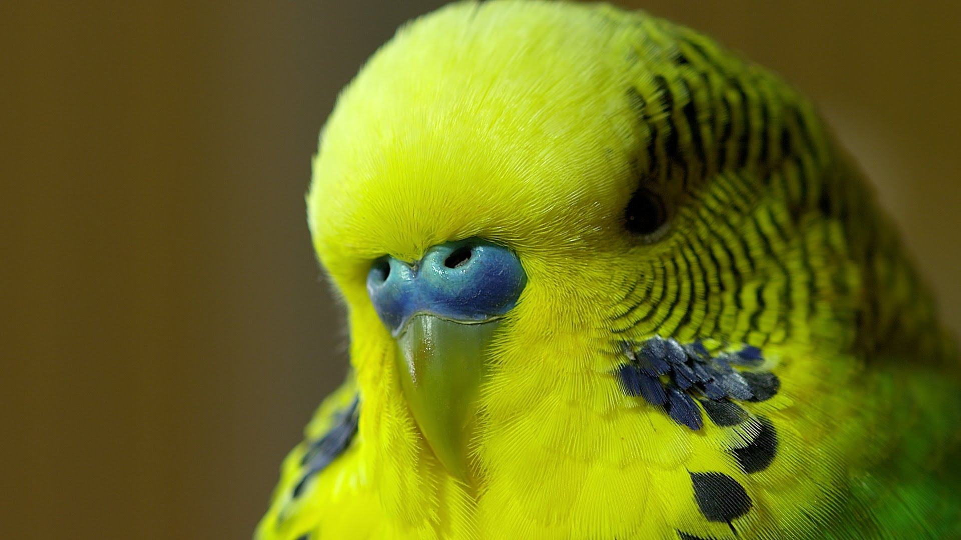 Cute Parakeet Wallpaper Budgie Wallpapers High Quality Download Free