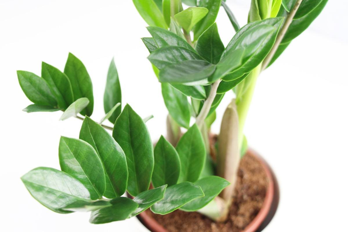 Zamioculcas Pflege Zamioculcas Wallpapers High Quality Download Free