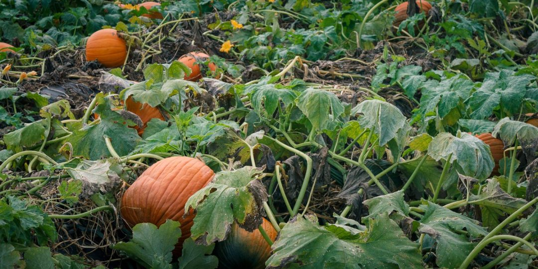Pick Your Own Pumpkin Patch - Yoders' Farm