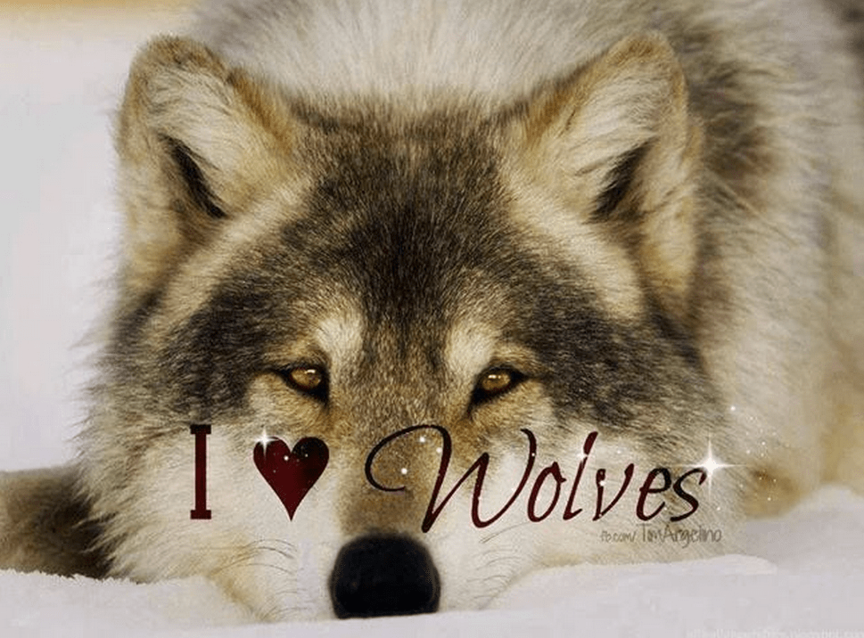 Cute Little Gray Cat For Wallpaper Keep Calm And Wolf On Yolo To Nature