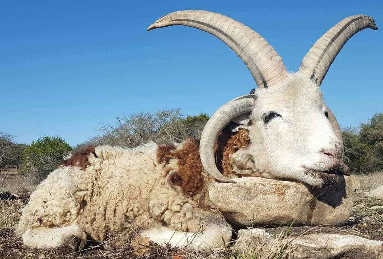 Four Horned Sheep