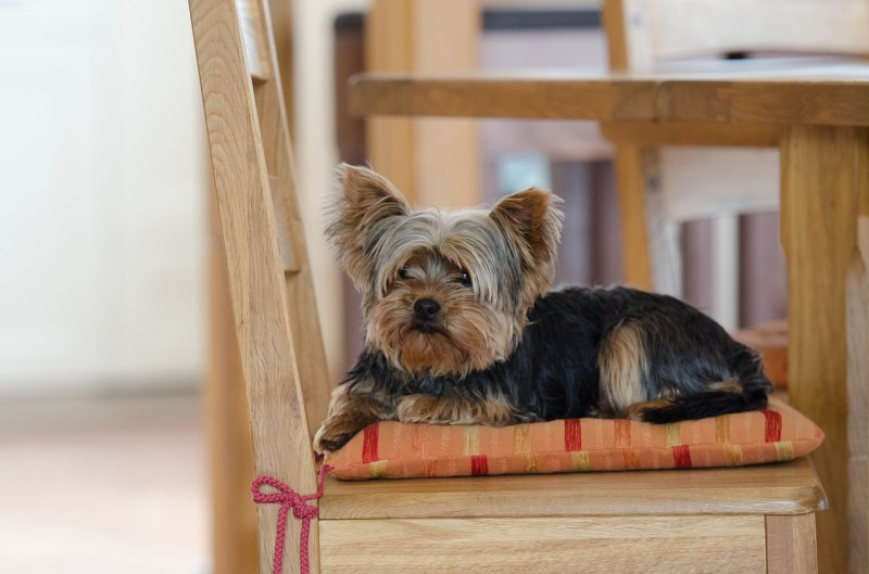 Large Of Do Yorkies Shed