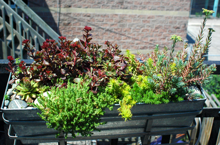 Succulent Windowbox