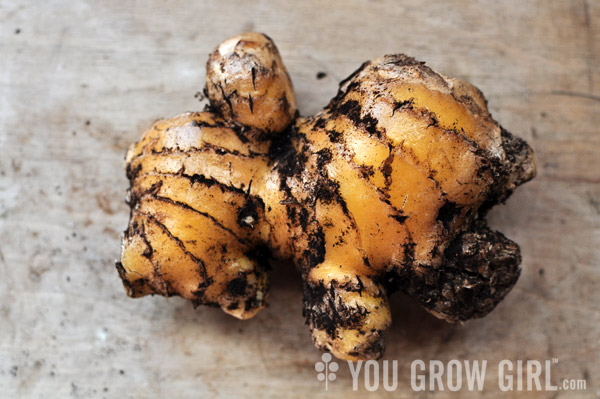 Grow Homegrown Ginger Root