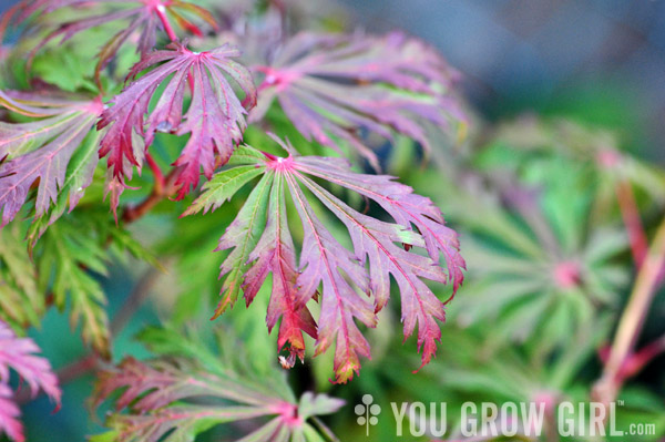 japanesemaple_happiness