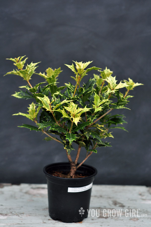 False Holly Osmanthus Goshiki3