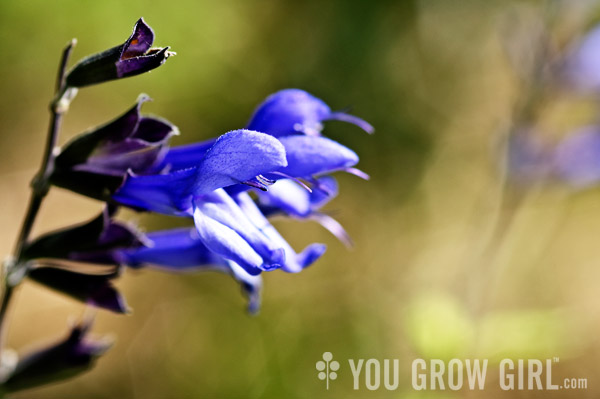 Hummingbird Sage (Salvia guaranitica)