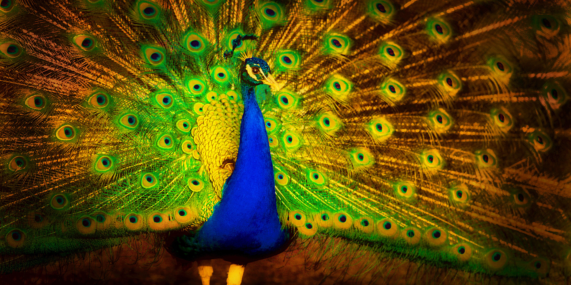 Good Evening Wallpaper Quotes Top 100 Most Beautiful And Colorful Pictures Of Peacock