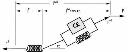 hill type muscle model [1]