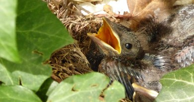 blackbird-nest-804030_960_720