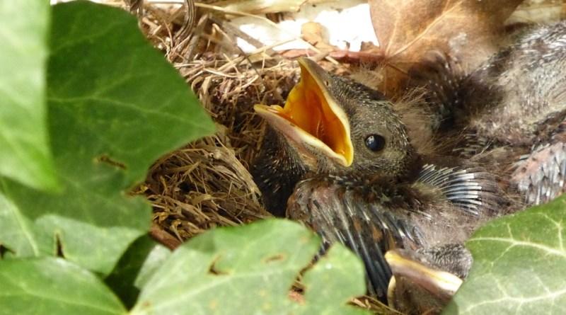 blackbird-nest-804030_960_720