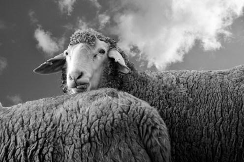sheep-2125306_960_720