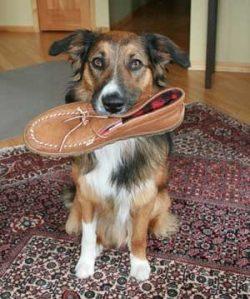 dogwithshoe