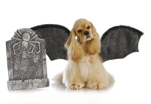 halloween dog - cocker spaniel wearing bat wings sitting beside tomb stone on white background