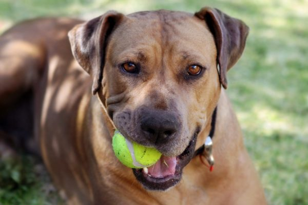 Rhodesian ridgeback with a tennis ball in her mouth, ready to play.