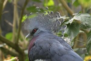 victoria-crowned-pigeon-287528_1920
