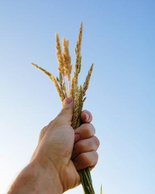 picture of wheat in hand