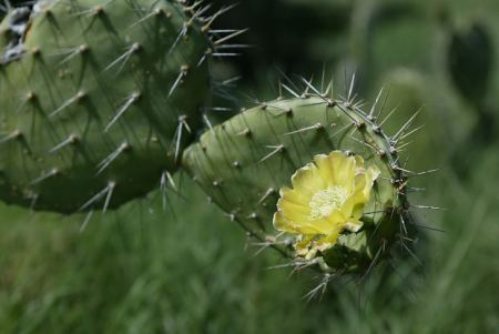 flower-yellow-cactus-thorns