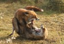 Lessons from Foxes: Genes, Demography and Destiny