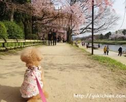 京都北山 半木の道(なからぎのみち)紅枝垂れ桜と杏ちゃん