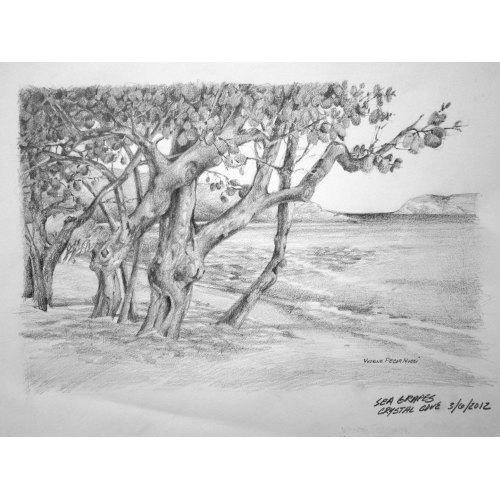 Medium Crop Of Sea Grape Tree