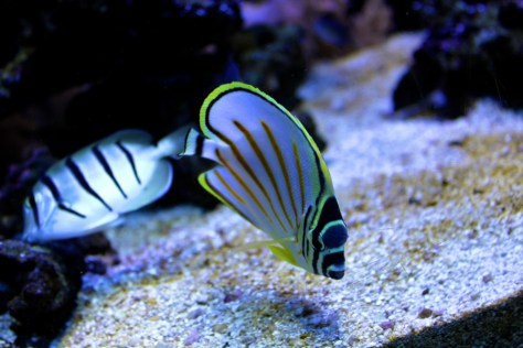 Striped Fish at Seattle Aquarium in Seattle, Washington, United States via ZaagiTravel.com
