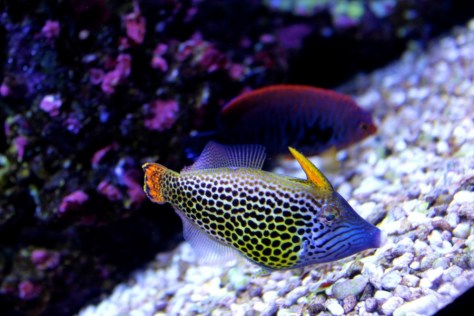 Colorful Polkadot Fish at Seattle Aquarium in Seattle, Washington, United States via ZaagiTravel.com